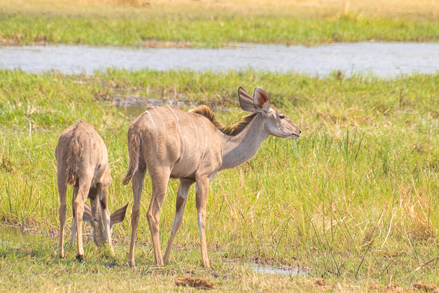 safari por la rivera del río khwai (19)