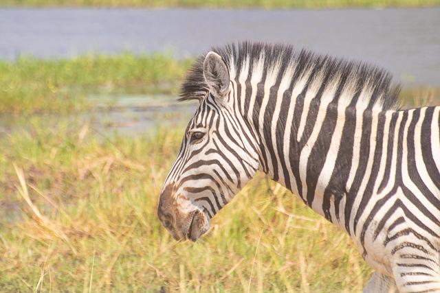 safari por la rivera del río khwai (20)