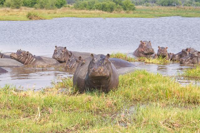 safari por la rivera del río khwai (23)