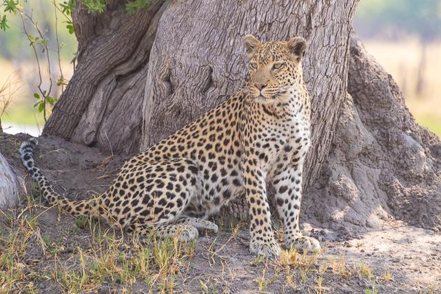safari por la rivera del río khwai (28)
