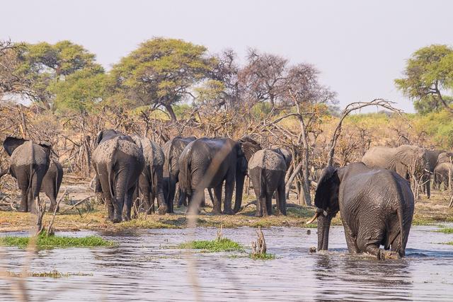 safari por la rivera del río khwai (41)