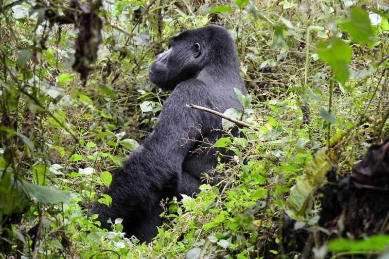 gorilas uganda 2