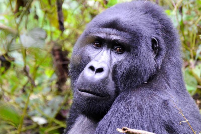 gorilas uganda 4