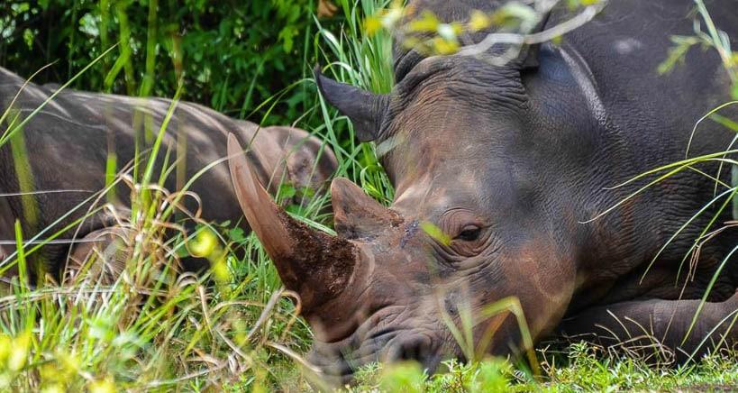 rinocerontes uganda