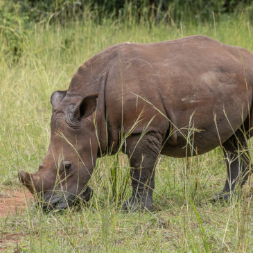 Ziwa Rhino Sanctuary en Uganda