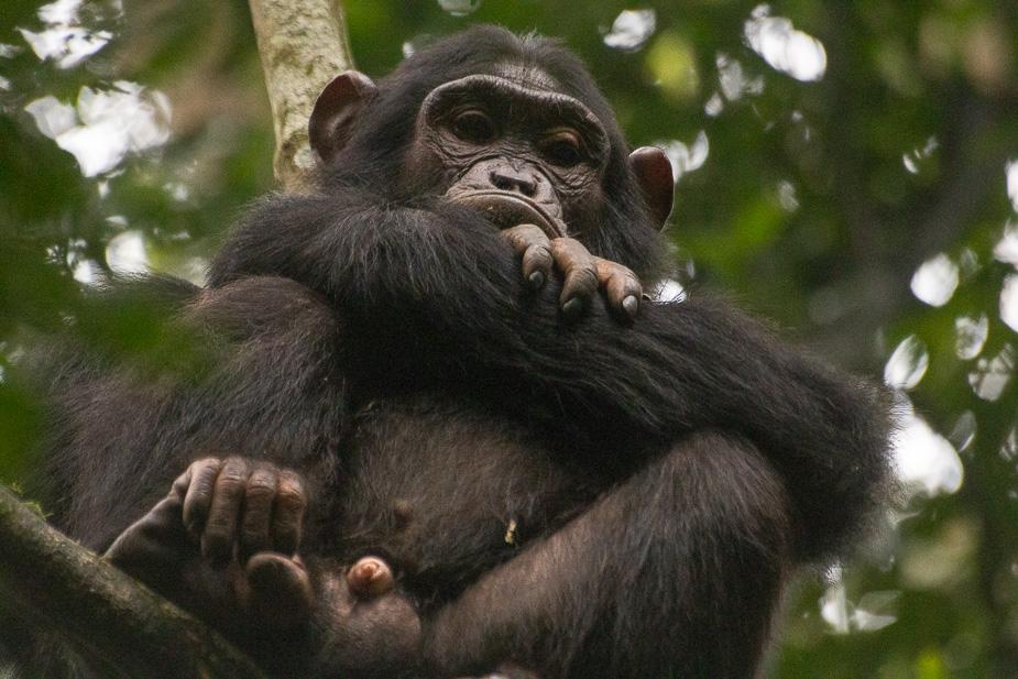 parque nacional kibale chimpances (10)