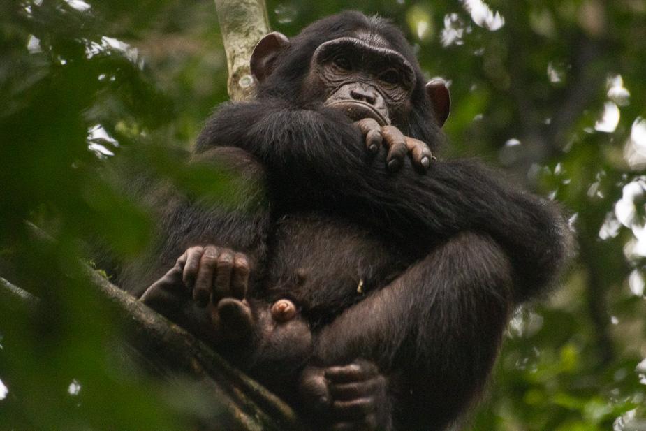 parque nacional kibale chimpances (11)