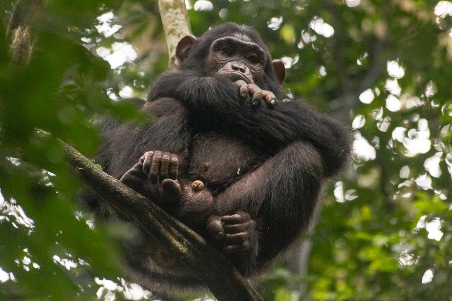 parque-nacional-kibale-chimpances-13