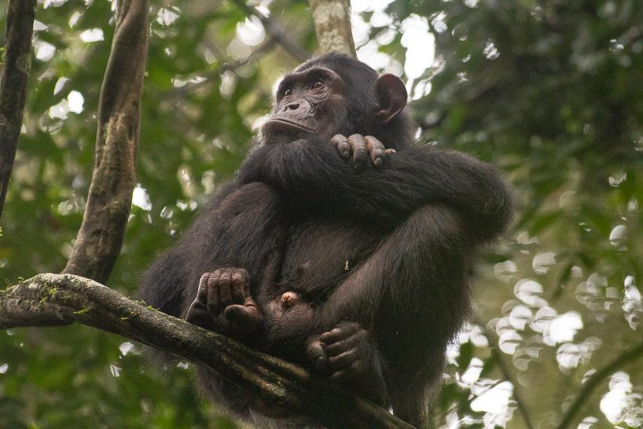 parque nacional kibale chimpances (14)