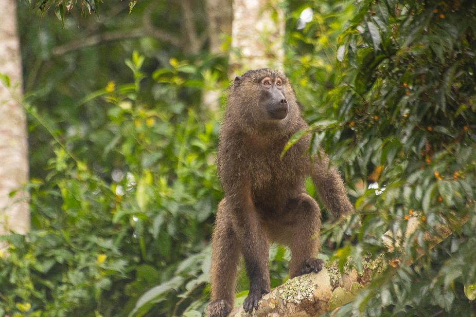 parque-nacional-kibale-chimpances-2