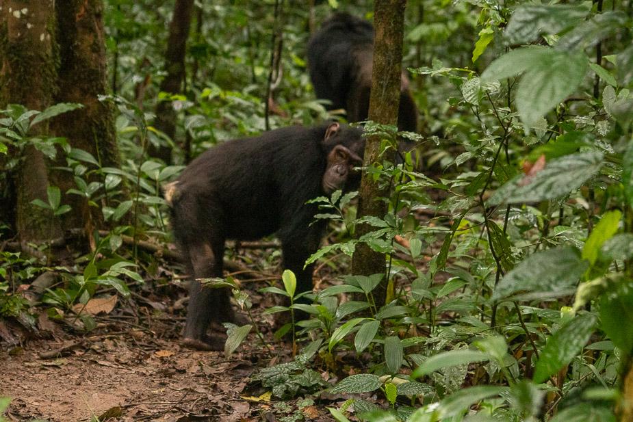 parque-nacional-kibale-chimpances-21