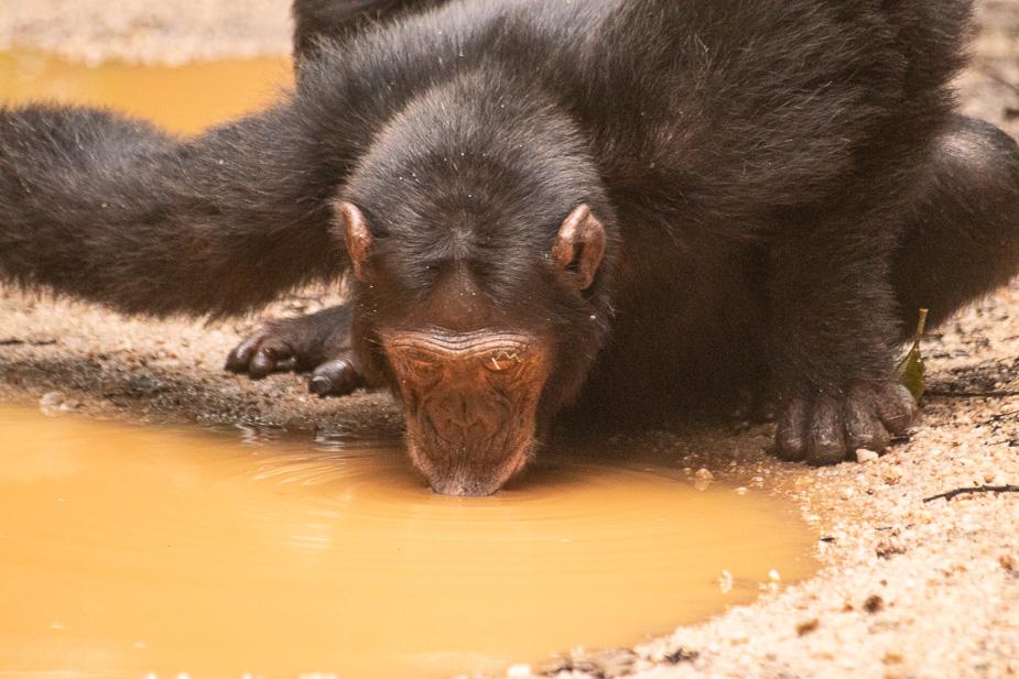 parque nacional kibale chimpances (24)