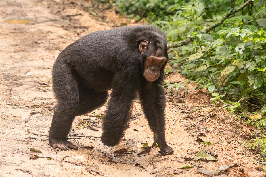 parque-nacional-kibale-chimpances-25
