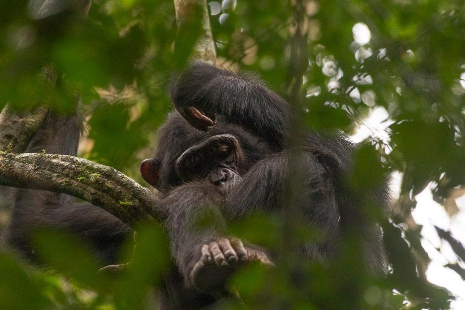 parque-nacional-kibale-chimpances-3