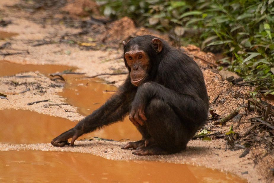 parque-nacional-kibale-chimpances-31