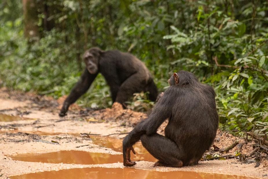 parque-nacional-kibale-chimpances-32