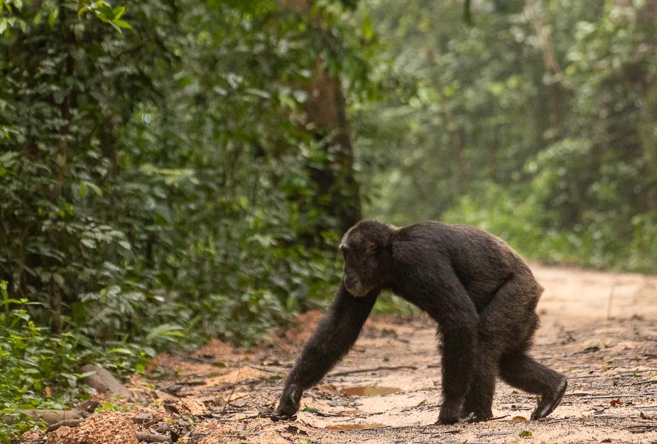parque-nacional-kibale-chimpances-33