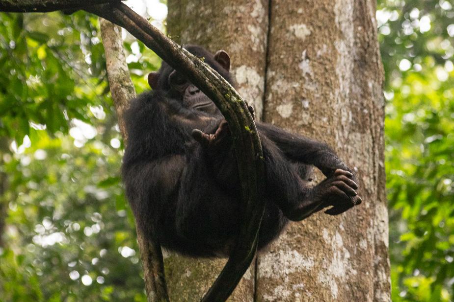 parque-nacional-kibale-chimpances-4