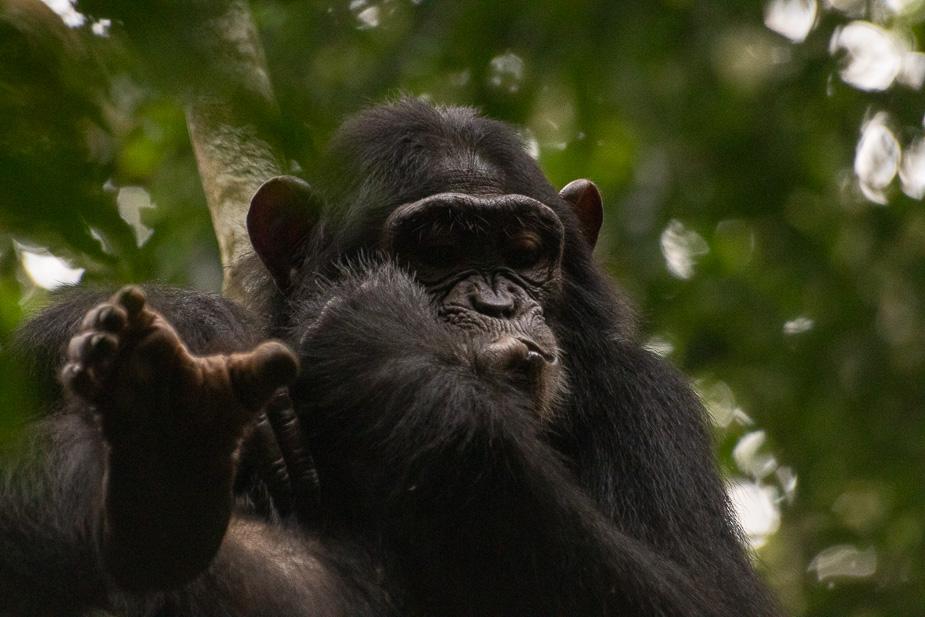 parque-nacional-kibale-chimpances-6