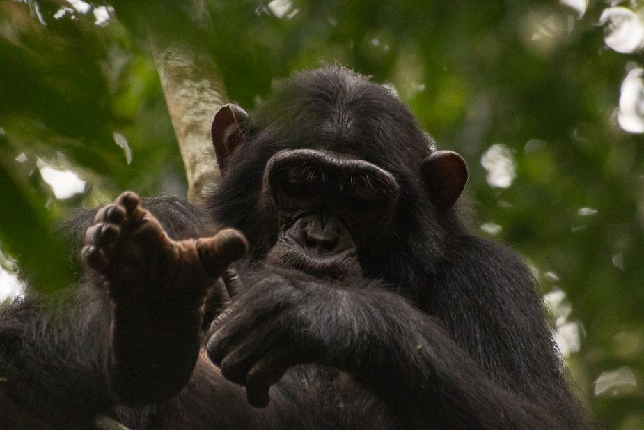 parque nacional kibale chimpances (7)