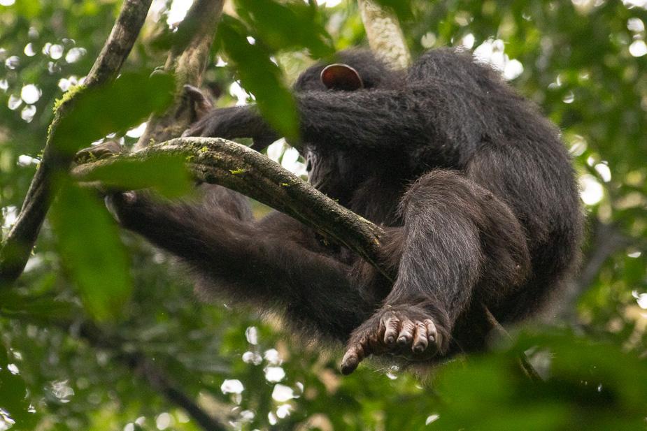 parque-nacional-kibale-chimpances-8