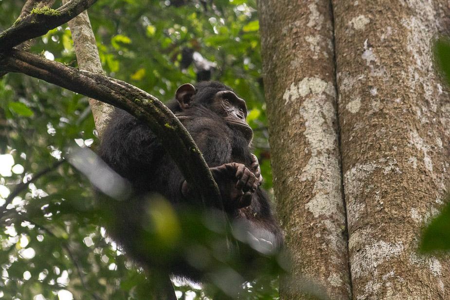 parque-nacional-kibale-chimpances-9