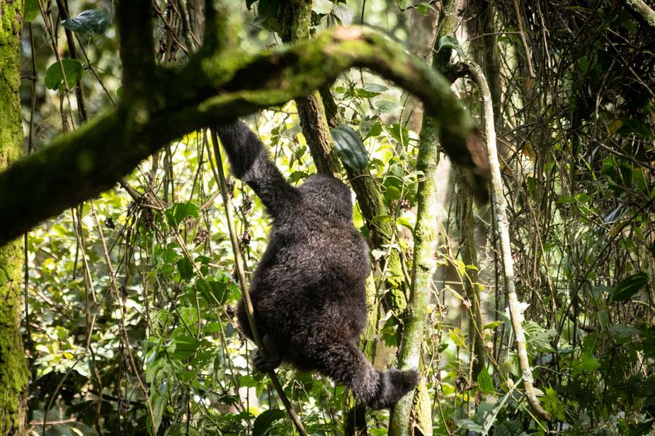 gorilas-bosque-impenetrable-bwindi-1
