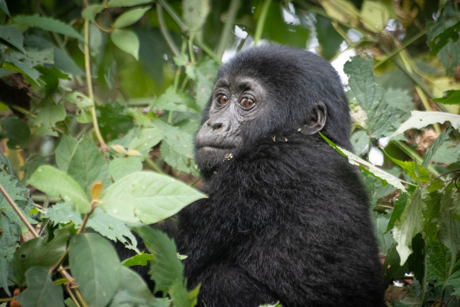 gorilas-bosque-impenetrable-bwindi-10