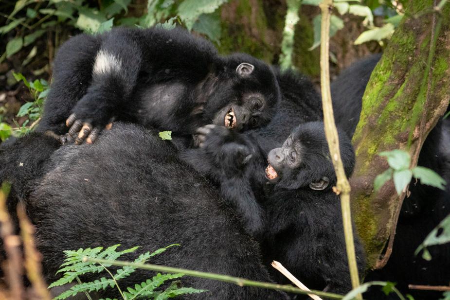 gorilas-bosque-impenetrable-bwindi-17