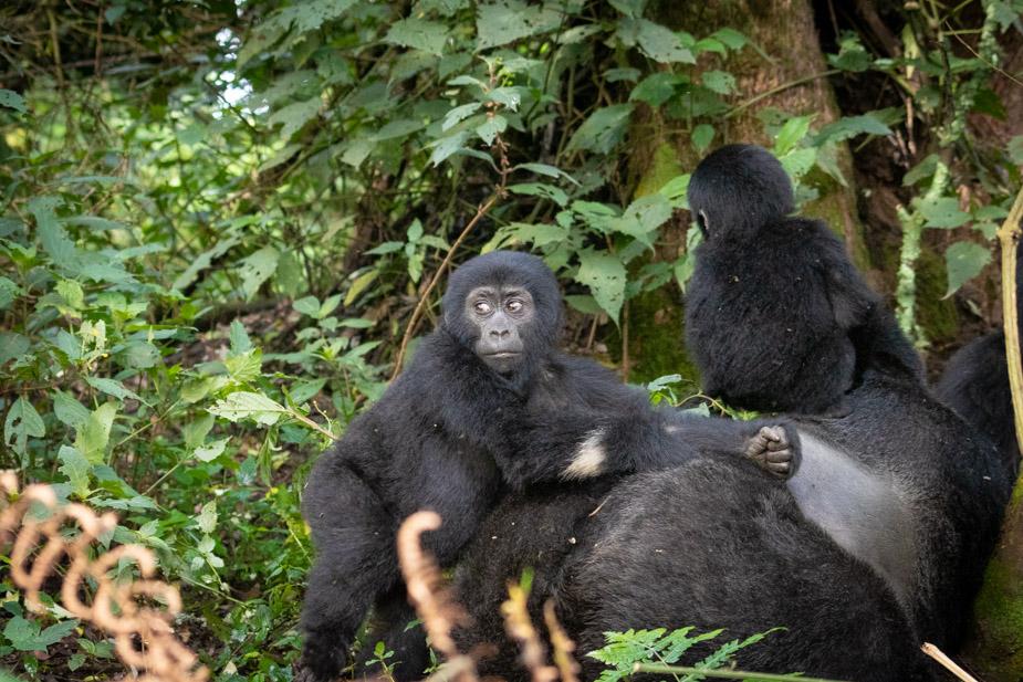 gorilas-bosque-impenetrable-bwindi-19