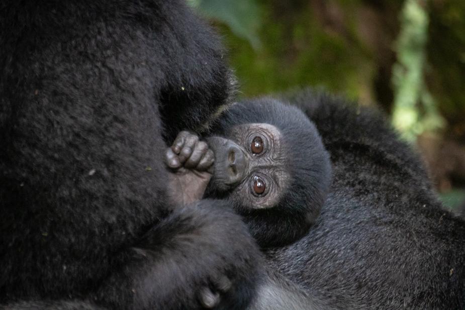 gorilas-bosque-impenetrable-bwindi-20