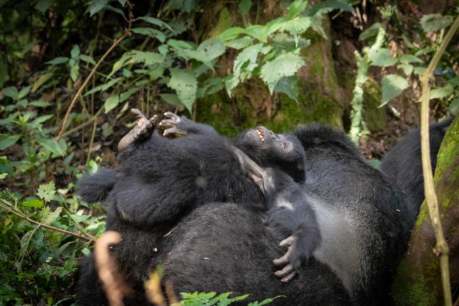 gorilas-bosque-impenetrable-bwindi-21