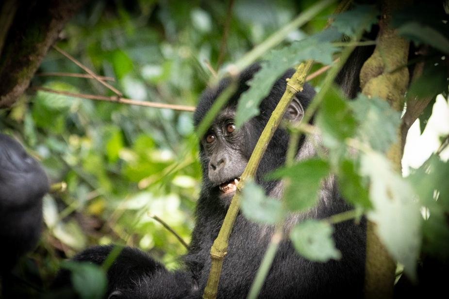 gorilas-bosque-impenetrable-bwindi-22