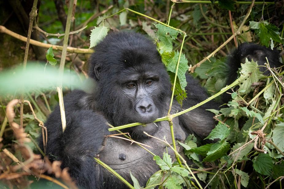 gorilas-bosque-impenetrable-bwindi-26