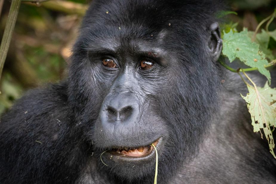 gorilas-bosque-impenetrable-bwindi-30