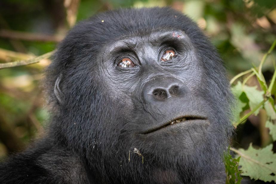 gorilas-bosque-impenetrable-bwindi-33