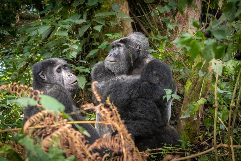 gorilas-bosque-impenetrable-bwindi-35