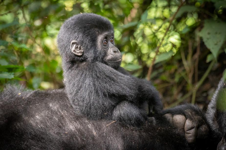gorilas-bosque-impenetrable-bwindi-36