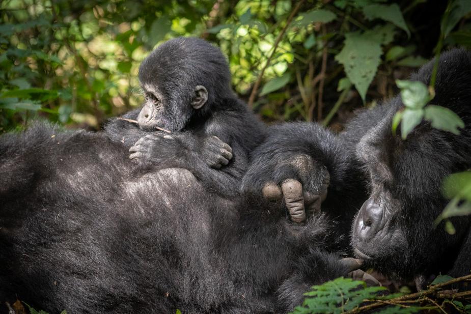 gorilas bosque impenetrable bwindi (39)
