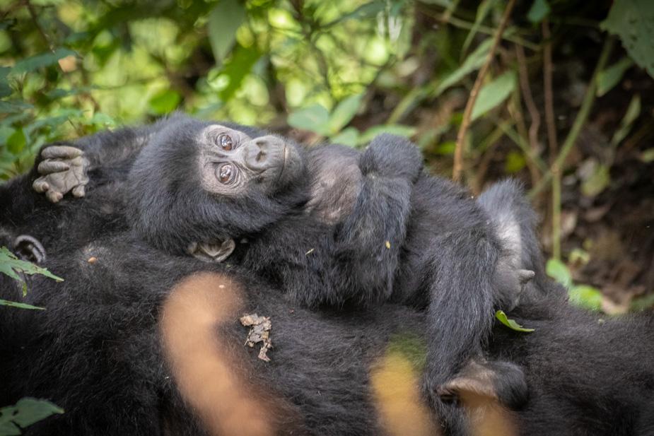gorilas-bosque-impenetrable-bwindi-40