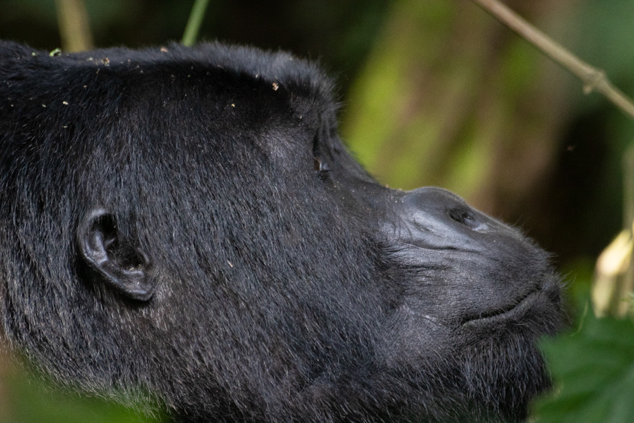 gorilas-bosque-impenetrable-bwindi-5