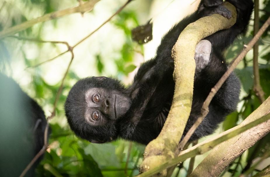 gorilas-bosque-impenetrable-bwindi-8