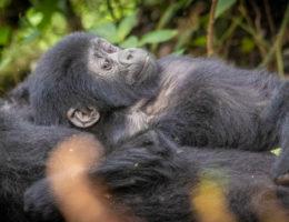 Los Gorilas del Bosque Impenetrable Bwindi