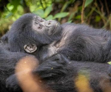 gorilas bosque impenetrable bwindi portada