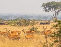 Ishasha y los leones trepadores (Uganda)
